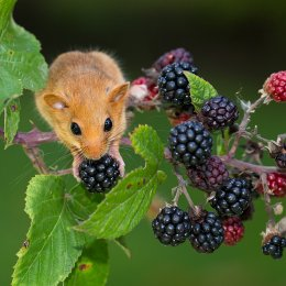 Moscardino - Hazel Dormouse